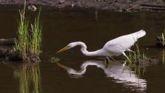 Great egret dips head into water and catches a small fish. - stock footage