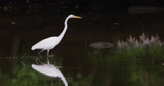 Great egret walking next to a tire.  Pollution. - stock footage