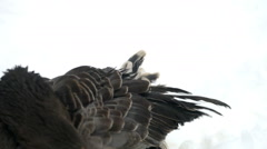 Dark geese (big head) cleans feathers in the snow Stock Footage