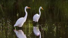 Two great egrets walking in water. Stock Footage