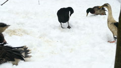 Indian runners duck on snow Stock Footage