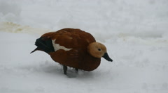 Red duck (ruddy) in the snow Stock Footage