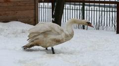 White goose on snow Stock Footage