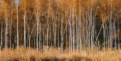 Panorama of Beautiful Birch forest in autumn season - stock photo