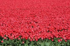 Frühling in Holland mit Tulpen Blumen rot auf Blumenwiese Stock Photos