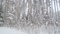 Tall pine trees full of snow Stock Footage
