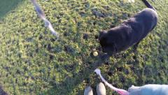 4K POV shot of dog dropping and chasing ball for walker - stock footage