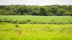 Reedbuck male sitting in grass - wide shot - Tembe South Africa Stock Footage