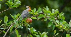 Red-bellied woodpecker eating apple in apple tree. Stock Footage