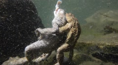 Toad, coupling with dead female, underwater, Bufo bufo, - stock footage