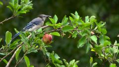 Blue jay eating apple in apple tree. Stock Footage