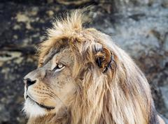 Barbary lion portrait (Panthera leo leo), critically endangered species Stock Photos