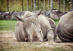 White rhinoceros (Ceratotherium simum simum), animals scene - stock photo