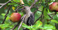 Red-bellied woodpecker eating apple in apple tree. Stock Footage
