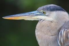 Portrait of Great Blue Heron. It is the largest North American heron. Stock Photos