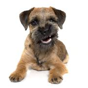 growling border terrier - stock photo