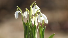 White snowdrop flowers in the springtime Stock Footage