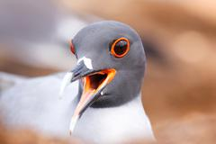 Portrait of Swallow-tailed Gull (Larus furcatus) on North Seymour island, Gal - stock photo