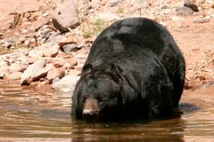 American black bear going into the water - stock photo