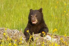 Baby American black bear Stock Photos