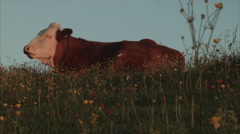 Brown cow grazes in scenic field Stock Footage