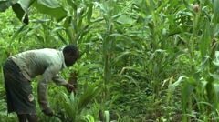 FARMER CLEARS WEEDS WITH MACHETE - stock footage