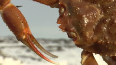 Handheld close up of a live King Crab Stock Footage