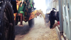 Cows feeding process on farm. Cows in barn on dairy farm. Agricultural equipment Stock Footage
