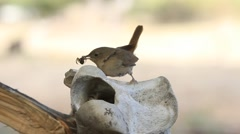 Little bird carrying food to the nest, situated on a horse skull. Stock Footage