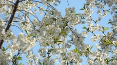 Beautiful nature scene with blooming tree and bees flying Stock Footage