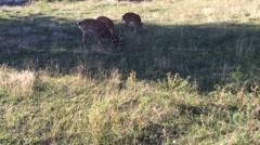 Herd of  Sika deer graze in the meadow. Stock Footage