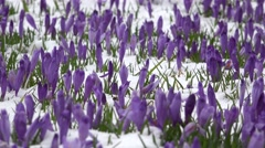 First crocus flowers Stock Footage