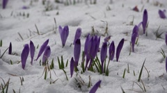 Early crocuses in snow Stock Footage