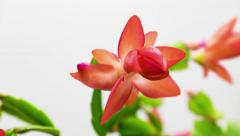 Epiphytic Cactus Schlumbergera Bloom On white Background Stock Footage