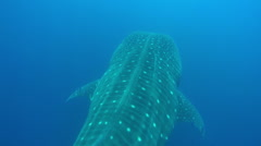 Whale Shark San Diego Rare Sighting - stock footage