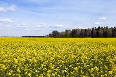 flowering canola. Spring - stock photo