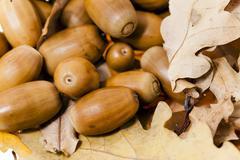 oak acorns,  close-up - stock photo