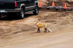 Fox in Human Populated Area - stock photo