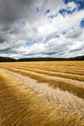 Agricultural field ,  flax - stock photo