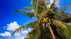 Wind Shakes Branches of Palm with Coconuts against Blue Sky Stock Footage