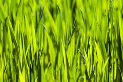 cultivation of cereals. Spring - stock photo
