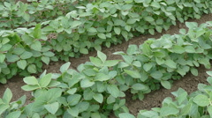 Agriculture,Soybean plant in field, panning footage Stock Footage