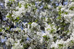 Cherry blossoms , spring Stock Photos