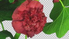 Time-lapse of blooming red filled mallow flower with ALPHA channel Stock Footage