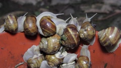 Herd of snails climbing a red wall in an attempt to escape from the trap 6. - stock footage