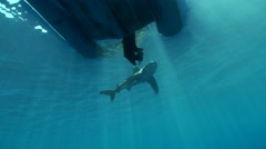 Oceanic whitetip shark checking out a zodiac Stock Footage