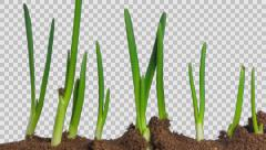 Time-Lapse Of Growing Onion	 - stock footage