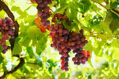 Bunches of red wine grapes hanging on the wine in late afternoon sun. Stock Photos