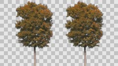 Real Tree Isolated On The Wind 56 Autumn Stock Footage