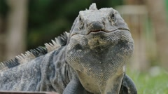 Mexican iguana close up on face Stock Footage